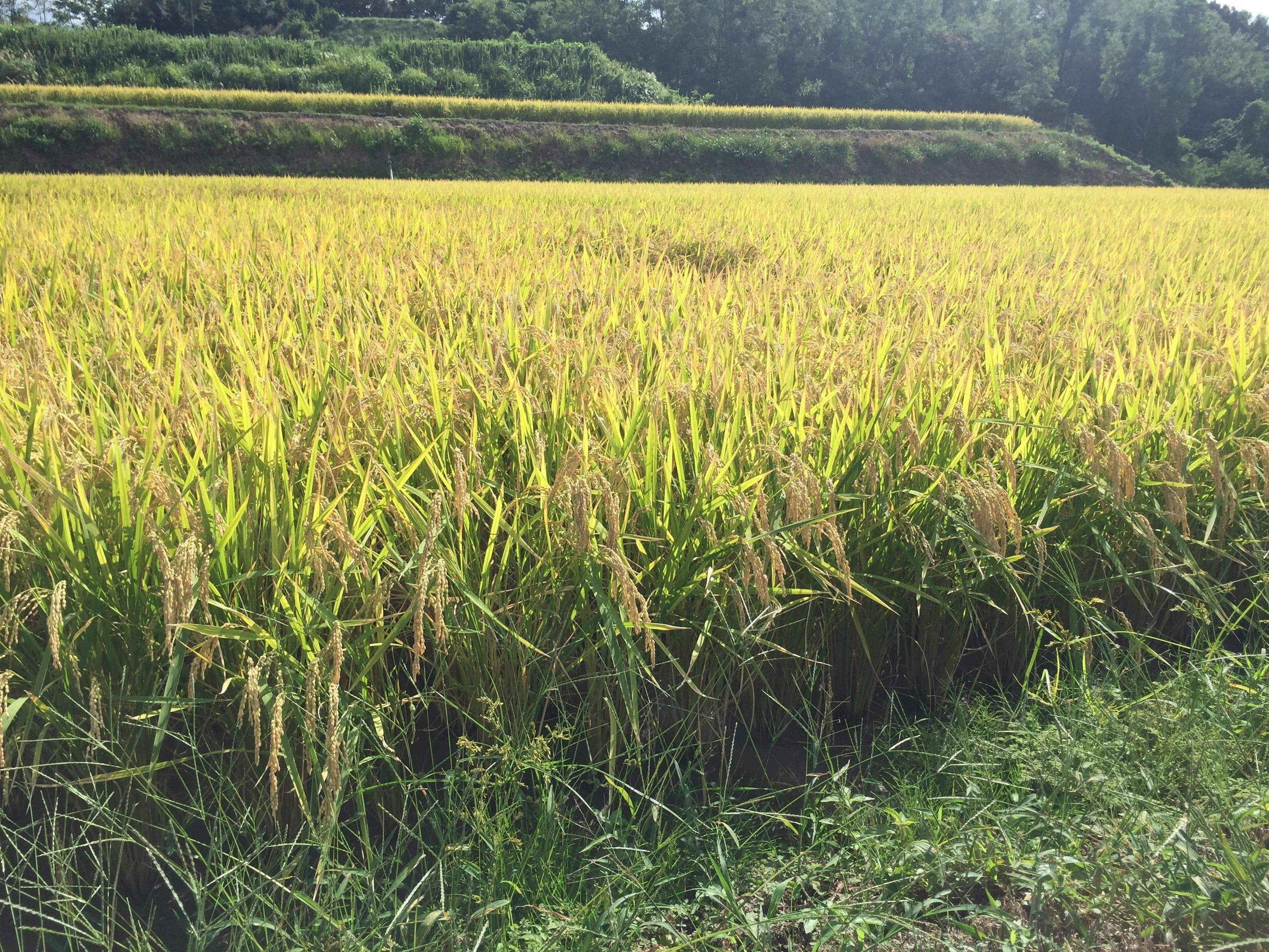 淡路島の五色地域ではねばり、つやがある鮎原米が有名