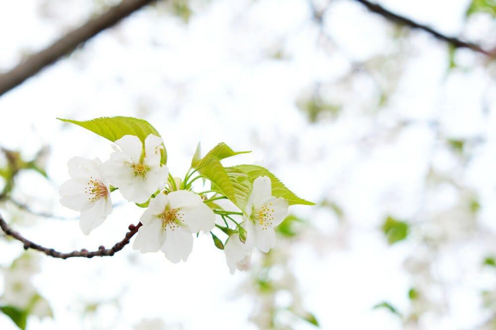 和の心である桜