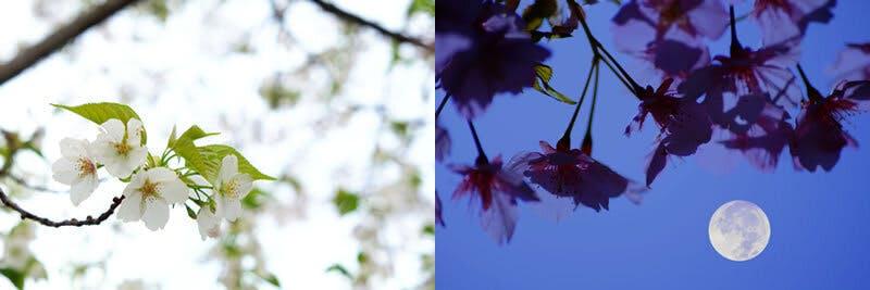 あなたの心に咲く桜は、どんな桜ですか?