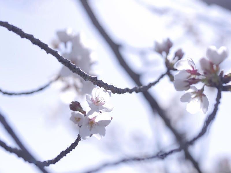 しずかにそっと咲く一輪の桜