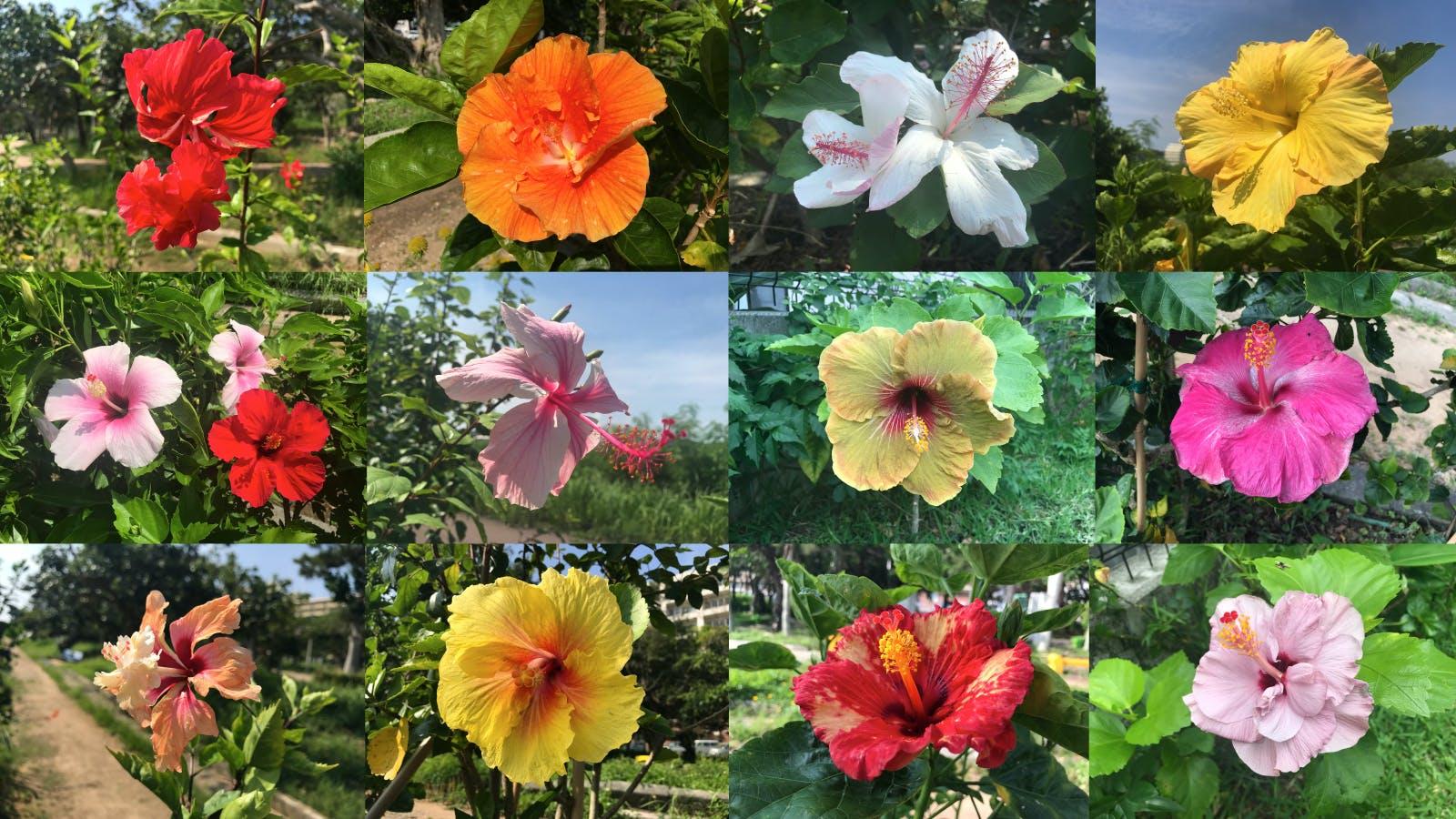 支援金1,000円で沖縄産の可愛らしく咲くハイビスカスの写真をランダムに3枚プレゼント!