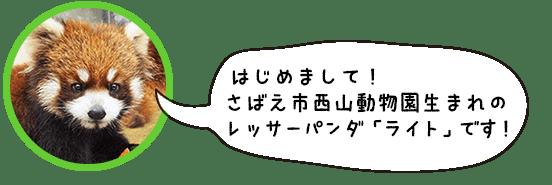 はじめまして。鯖江市西山動物園生まれのレッサーパンダ「ライト」です!
