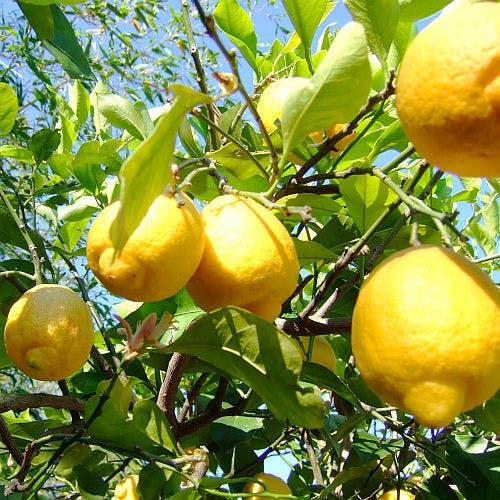 瀬戸内ジャムズガーデンのレモン畑