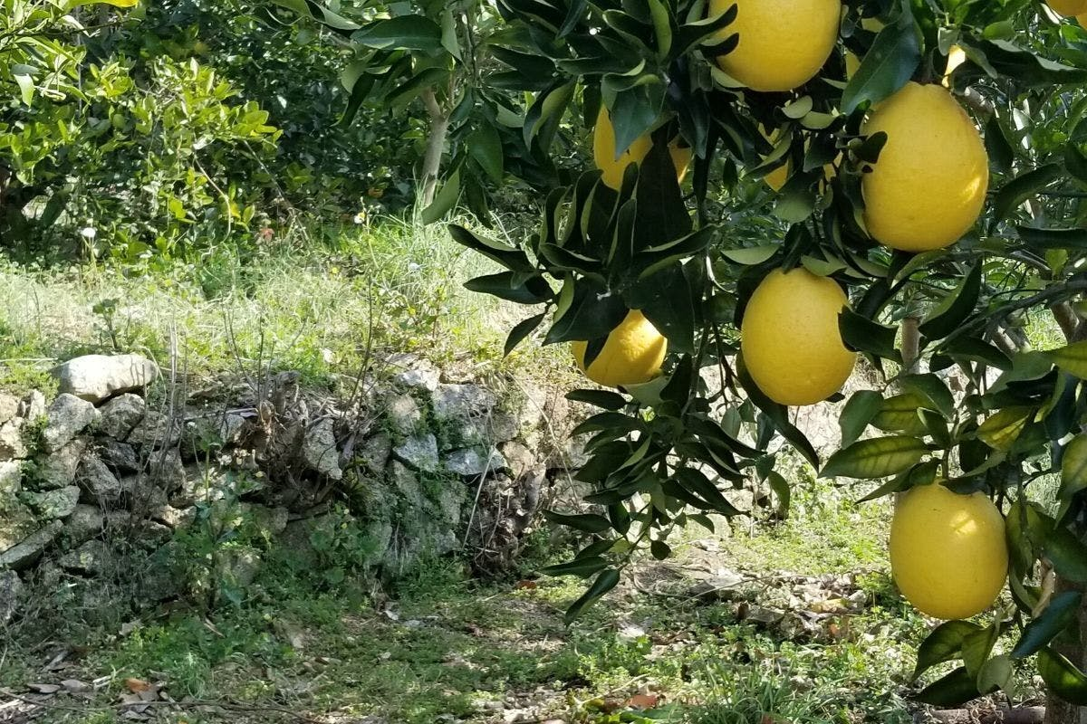 周防大島の石積み段々畑