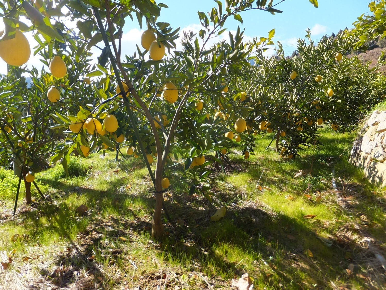周防大島のレモン畑