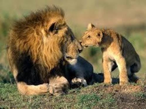 Medium ライオン親子