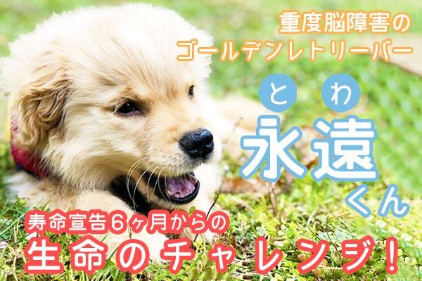 重度脳障害の子犬「永遠(とわ)」くん寿命6ヶ月宣告からの生命のチャレンジ