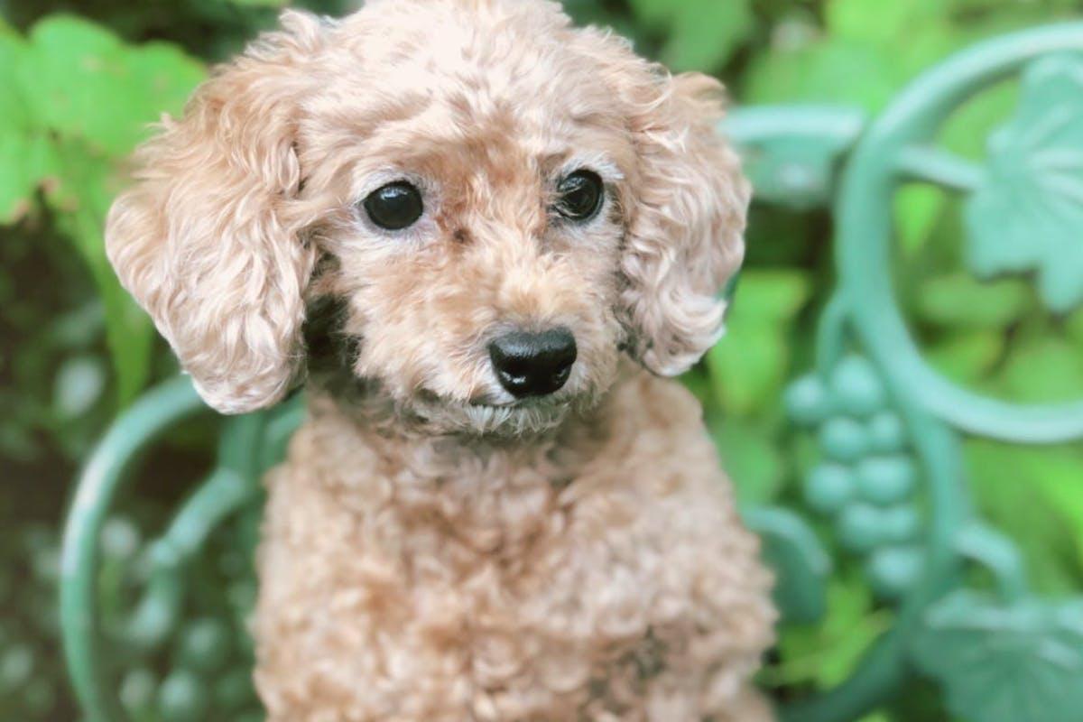 【手術費用が必要です】子宮蓄膿症になった愛犬、【モコ】を助けてください!