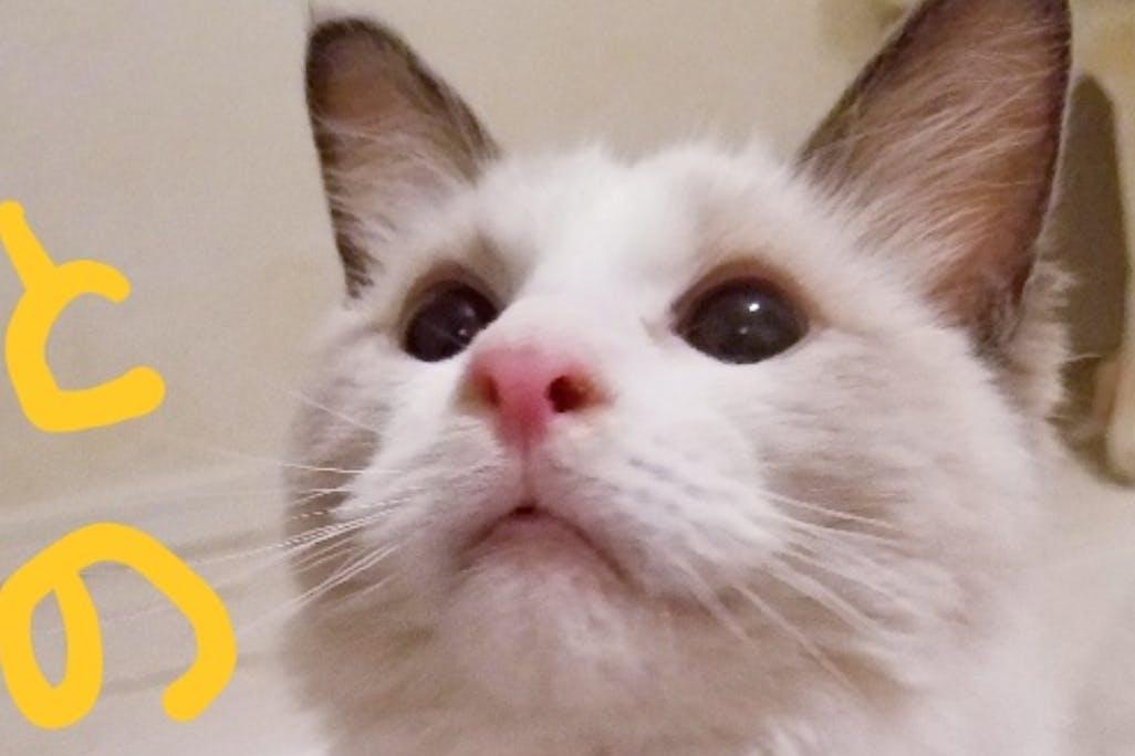 とのまるです。猫伝染性腹膜炎FIPに勝って生きたい!治療費の支援をお願い致します