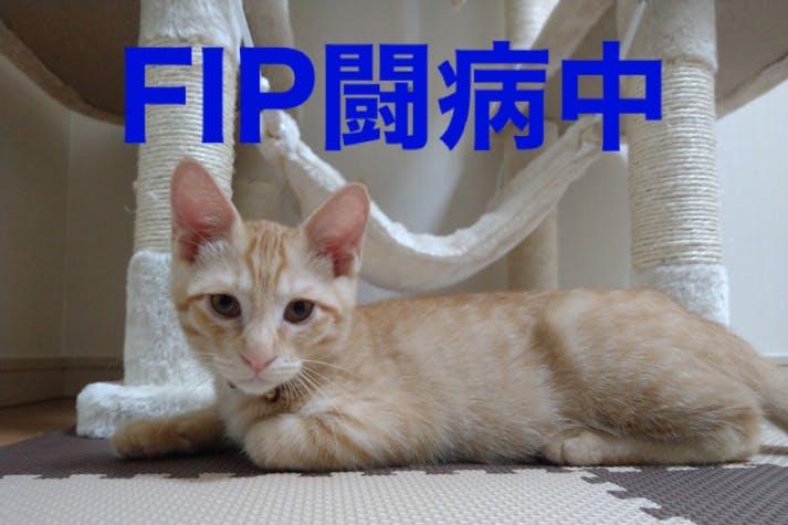 難病FIPと闘う生後半年の愛猫テトを救いたい